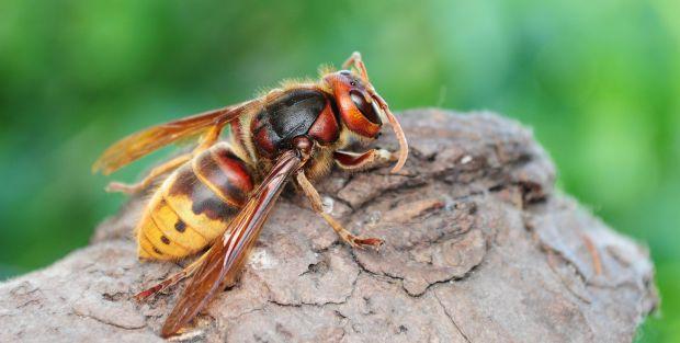 Espanhóis criam novo método de controlo da vespa asiática