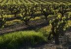 Copa-Cogeca alerta para consequências com o fim dos direitos de plantação de vinha