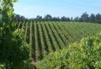 O ministério da Agricultura revelou que a produção francesa de vinho pode cair até 30% este ano, para o seu nível mais baixo em décadas.