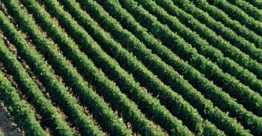 Onda de calor preocupa viticultores de Bordéus
