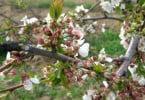 Cerejeira em flor