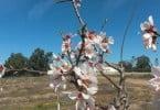 flor de amedoeira