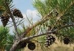 pinhas - pinheiro - Vida Rural