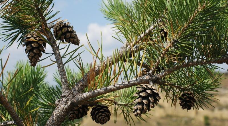 pinhas pinheiro Vida Rural