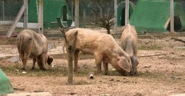 porco bísaro