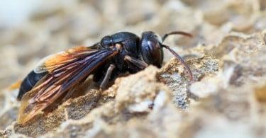 Vila Nova de Famalicão investe 250 mil euros na destruição de ninhos de vespa asiática
