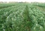 Tremoço - Lusosem - plantação