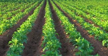 batata plantação