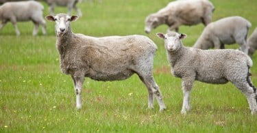 ovelhas pasto Vida Rural