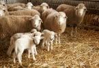 IFAP cria aplicação para registo de Identificação de Ovinos e Caprinos
