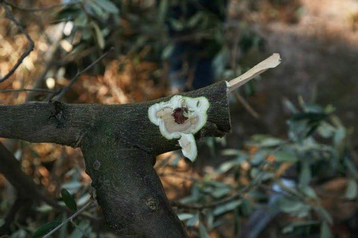 Xylella Fastidiosa Foto EFSA