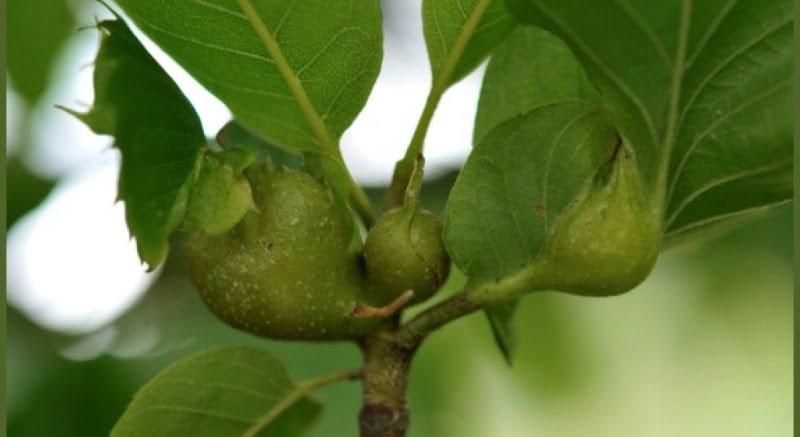 vespa do castanheiro - destaque