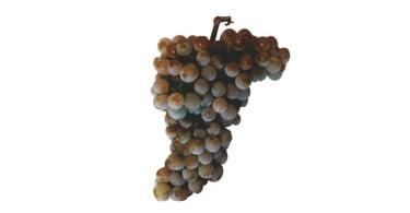 cacho de uvas casta Avesso