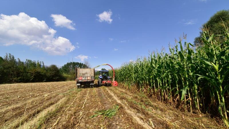 colheita de milho