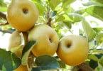 macieiras - maça de Alcobaça