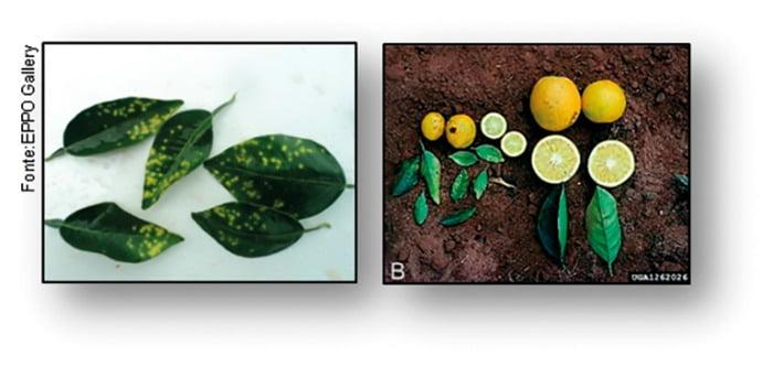 Sintomatologia de infeção por X. fastidiosa em laranja doce