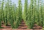 Willamette Valley hops growing for the microbrew market near Salem Oregon