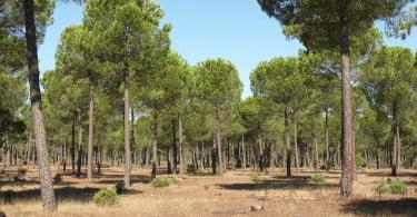 pinheiro manso e