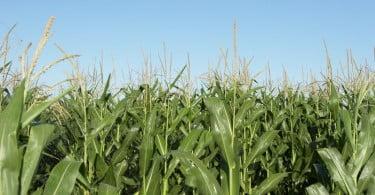 produção de milho