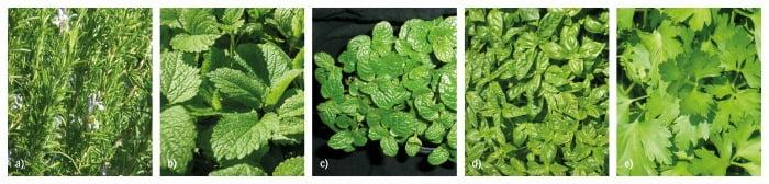 Figura 2 – Plantas aromáticas: a) Alecrim; b) Cidreira; c) Hortelã; d) Manjericão; e) Salsa
