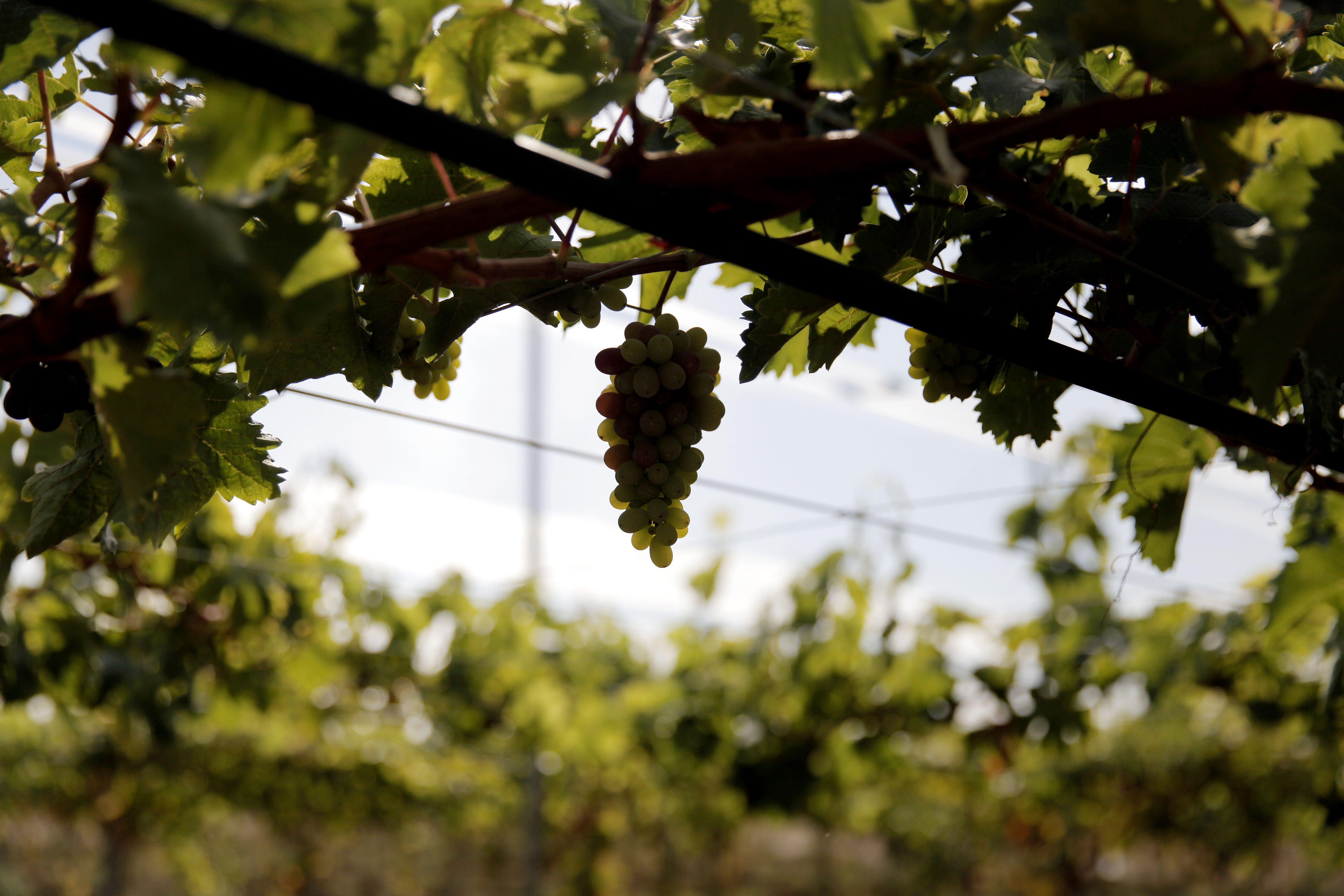 Uva de mesa na herdade do vale bom - Variedades de uva de mesa ...