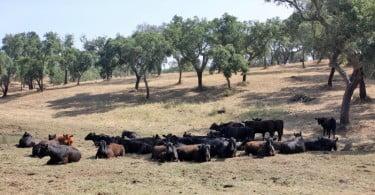 bovinos da raça Angus Vida Rural