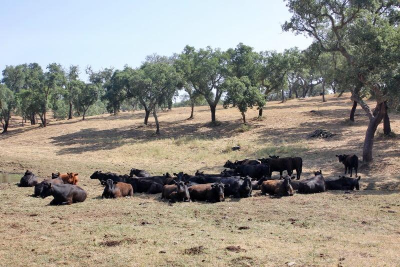 bovinos da raça Angus - Vida Rural
