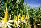 milho - Vida Rural