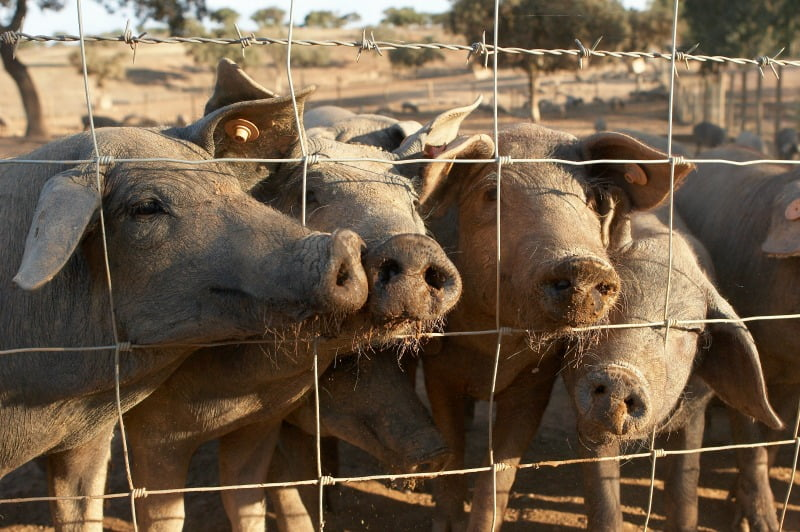 porco alentejano