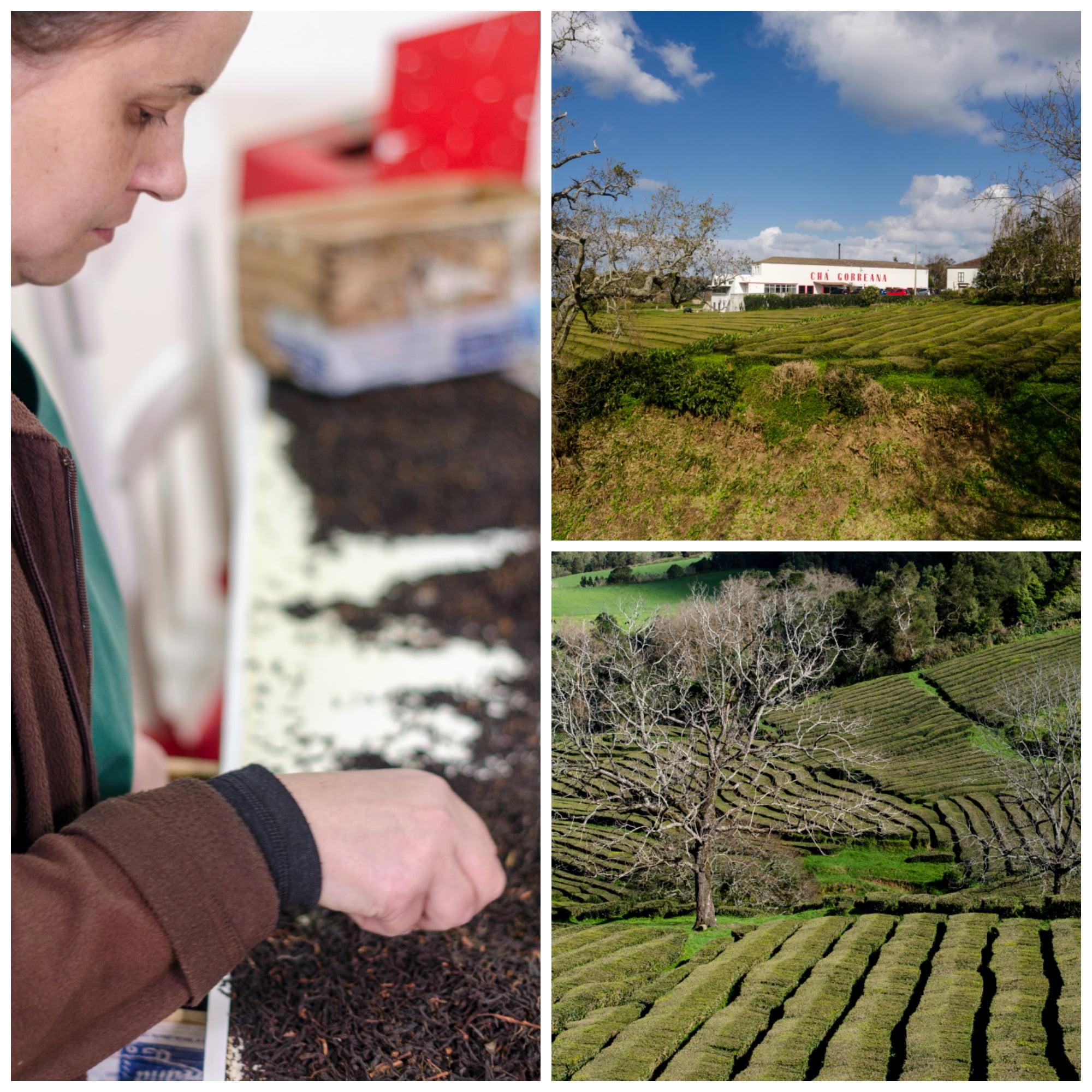 Chá da Gorreana - montagem - Vida Rural