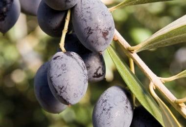 azeitona - especial olivicultura - Vida Rural