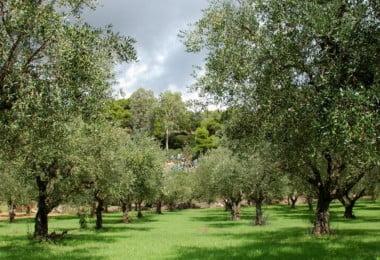 olival - Vida Rural