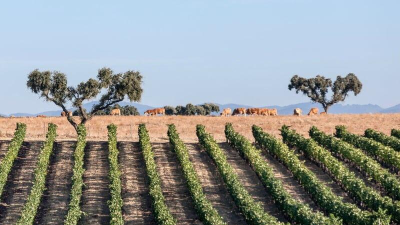 A CVRA estima que a produção de vinho no Alentejo possa atingir os 120 milhões de litros, um aumento entre 5 e 10%, face a 2020.
