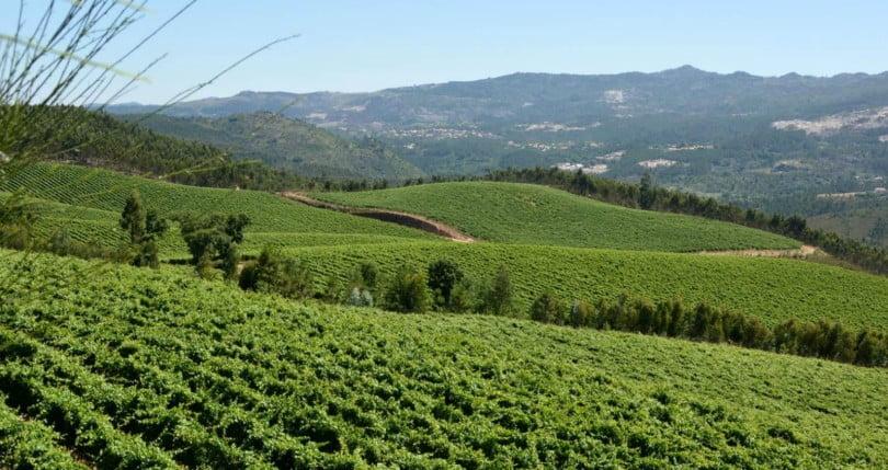Vinhos verdes já têm seguro de colheita para esta campanha