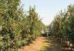 Maçã de Alcobaça - hortofrutícolas - Vida Rural