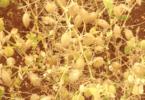 grão de bico - leguminosas - Vida Rural