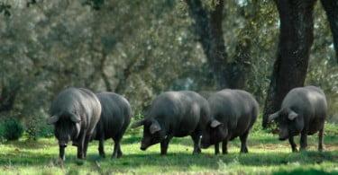 produtores de porco alentejano