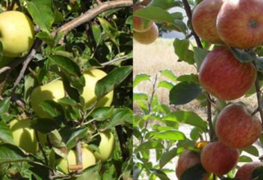 Maçãs - biofortificadas com cálcio - Especial Hortofrutícolas - Vida Rural