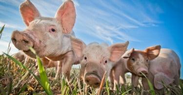 Ministério da Agricultura tem 5 M€ para apoiar suinicultura sustentável