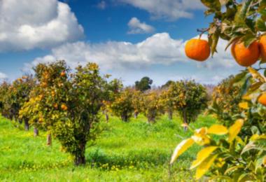 laranjeiras - Vida Rural