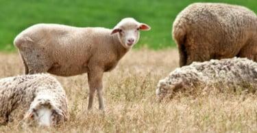 ovelhas Vida Rural
