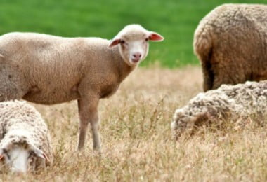 ovelhas - Vida Rural