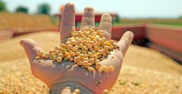soja OGM Vida Rural