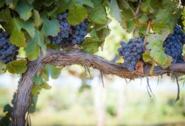 Governo lança linha de crédito para organizações de produtores dos setores do vinho e da fruta
