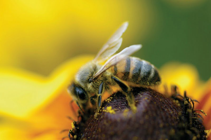 abelha Vida Rural