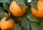 Produtores de citrinos de Valência preveem quebra na produção
