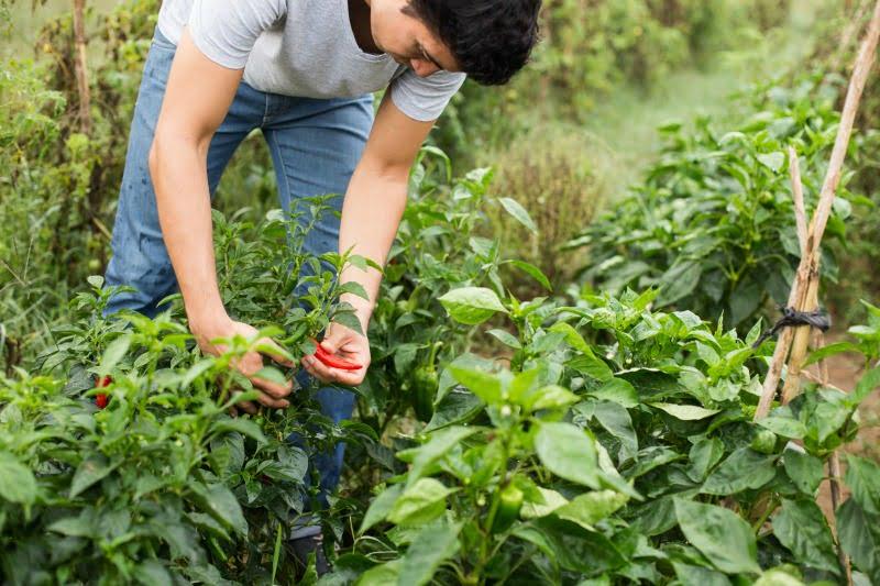 jovem agricultor Vida Rural