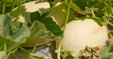 produção de melão