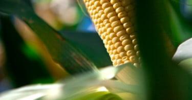 milho OGM