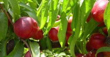 nectarinas fruticultura Vida Rural
